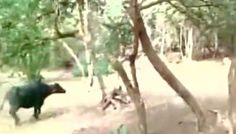 Buffalo charges a Lioness and wins! Unbelievable video from Gir