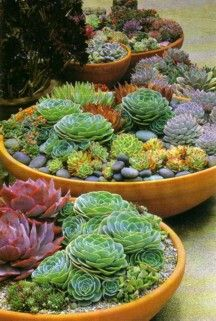Shallow terracotta bowls of Echeveria with pebble mulch - Image No: 0050144 - GAP Gardens, garden and plant stock photography Succulent Bowls, Succulent Gardening, Succulent Arrangements, Garden Plants, Container Gardening, Succulent Ideas, Succulent Terrarium, Succulents In Containers, Cacti And Succulents