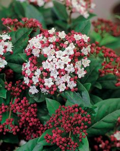 **Shrub - Viburnum tinus 'Lisarose' Position: full sun or partial shade Soil: moderately fertile, moist, well-drained soil Rate of growth: average Flowering period: December to April Flower colour: white with red buds Other features: the fruits can cause a mild stomach-ache if ingested Hardiness: fully hardy