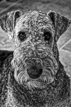 Charly the Airedale Dog Photo by Inge Hawkins -- National Geographic Your Shot