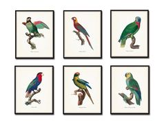 Vintage French Parrot Print Set  Giclee Canvas by BelleMerGraphics