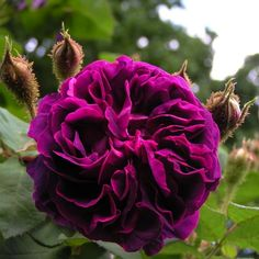 """'William Lobb' (1855) Moss Rose -- """"If I could grow only one rose, then it would be William Lobb,"""" Maynard says."""