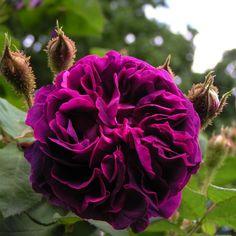 'William Lobb' (1855) Moss Rose