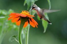 #hummingbird