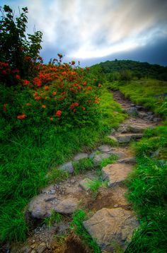 Trailside Splendor   Flame Azaleas adorn the Appalachian Trail during the lush growing season atop Roan Mountain high in the Smoky Mountains.
