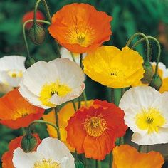 Poppy Iceland Mix Seeds - Irish Plants Direct