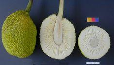 breadfruit photo gram