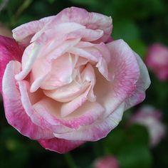 Historische Rosen 2010 - Seite 28 - Rund um die Rose - Mein schöner Garten online