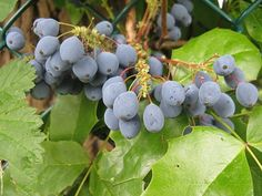 My personal favorite herbal medicine when it comes to any acute infections (any) in my clinic is called berberine. Plants that share similar indications when it comes to effective yeast infection treatment are Golden seal (Hydrastis canadensis), Barberry (Berberis vulgaris), Oregon grape (Berberis aquifolium), and Goldthread (Coptis chinensis). But what do these plants all have …