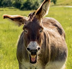 A smiling donkey in Custer State Park, United States.