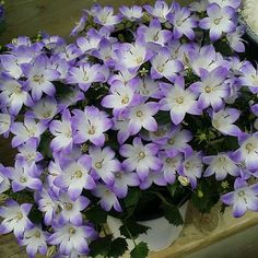 These little wonders are perfect to enjoy indoors now and #plant outdoors later. #campanula #spring #gardening #easter #perennial #shop #local #florist #flowersorangeville #floristorangeville #orangevilleflowers 78 John St #Orangeville