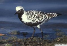 Black-bellied Plover   Birds in Palm Coast, Flagler Beach, Florida http://www.palmcoastandtheflaglerbeaches.com/