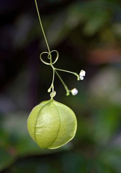 Love-in-a-puff, Tropical Balloon Vine, Heartseed (Cardiospermum halicacabum) part of my  childhood- Balao
