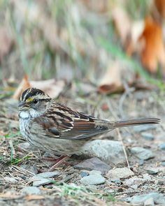 White throated house sparrow