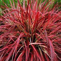 Tricolor moses in the cradle rhoeo spathacea 39 tricolor for Variegated ornamental grass varieties