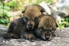 Captive Wolf Pups On Rock Minnesota Canvas Art - Michael DeYoung Design Pics x Beautiful Wolves, Most Beautiful Animals, Beautiful Creatures, Coyotes, Maned Wolf, Baby Wolves, Wolf Life, African Wild Dog, Baby Puppies