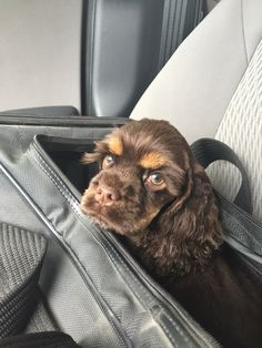 Not a happy puppet! American Cocker Spaniel, Cocker Spaniel Puppies, Springer Spaniel, Cute Puppies, Cute Dogs, Dogs And Puppies, Cockapoo, Goldendoodle, Paw Prints
