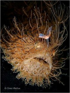 Hairy frogfish by Oleg Fedin. Even for my species I[m having a bad hair day. Deep Sea Creatures, Weird Creatures, Underwater Creatures, Underwater World, Fauna Marina, Life Under The Sea, Undersea World, Beneath The Sea, Water Animals
