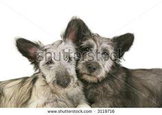 Two Cute Skye Terrier Puppies Stock Photo 3119716 : Shutterstock