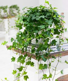 The beautiful hedera helix plant that adds an exciting look to your styling.