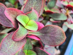 Crassula streyi (Pondo Cliff Crassula) is a relatively slow growing, perennial succulent up to 14 inches cm) tall, but is usually. Cacti And Succulents, Planting Succulents, Garden Plants, Cactus, Unusual Plants, Super Natural, Fairy Land, Outdoor Ideas, Cat Art