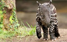 free download pictures of tapir - tapir category