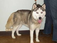 URGENT #FOUNDDOG STRAY #CAMBRIDGE #OH FEMALE #SIBERIANHUSKY 5-6 YEARS OLD 43 LBS BLUE EYES  Guernsey County Dog Shelter 62824 Bennett Ave. Cambridge, Ohio 43725  740-432-2219