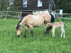 Herzlich willkommen, kleine Prinzessin! Dam: Dunas little Rose Sire: I am Shotgunner Quarter Horses, Mustang, American, Rose, Animals, Western Saddles, Horse And Rider, Little Princess, Welcome