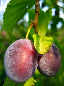 Methley Plum - $10 This early June ripening southern favorite has deep red-purplish skin and amber with red streaked flesh. Methley is a medium to large high quality fruit found readily in farmer's markets. The tree is a self-fertile Japanese variety. (250 Chill Hours)