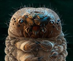 Caterpillar: | 26 Things You Never Want To See Under A Microscope The water bear is kinda cute, I can't lie. Macro Fotografie, Fotografia Macro, Silkworm Moth, Foto Macro, 3d Foto, Scanning Electron Micrograph, Scanning Electron Microscope Images, Microscopic Photography, Micro Photography