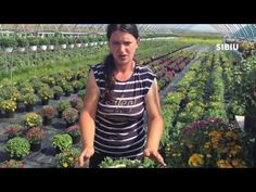 Transplantare Crizanteme - YouTube Herbs, Gardening, Spring, Youtube, Plants, Lawn And Garden, Herb, Plant, Youtubers