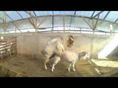 Amazing Goat, The behavior of the big goat and the young goats, let's see what they do - YouTube