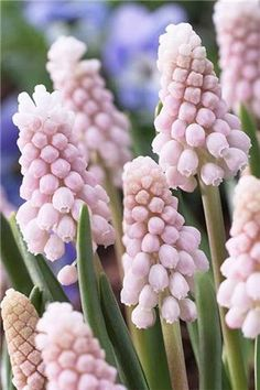 beautiful pink grape hyacinth