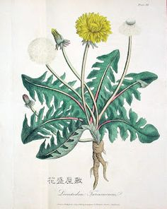 FLOS, 花, BLUME, FLOWER, 華,FLEUR, FLOR, ЦBETOK, FIORE: 4月E. Cox, Medical Botany or History of Plants in the Materia Medica of the London, Edinburgh, & Dublin Pharmacopoeias 1819-1822 2010