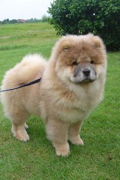Likes Comments CHOWSTAGRAM CHoW CHoW PuPPieS - This instagram chow chow looks like a fluffy potato and its so cute it doesnt even look real