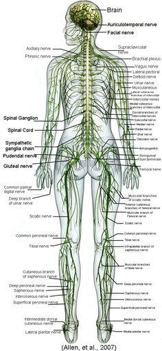Spinal Column Anatomy Illustration Tag Spinal Cord Anatomy Diagram