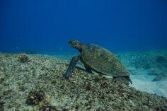 Hawaii Green Sea Turtle Honu #Turtle #Hawaii #GreenSeaTurtle