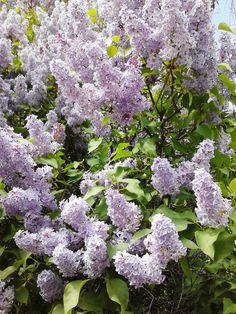 Aprils Country Life: Lilacs Beautiful Flowers Photos, Love Flowers, Spring Flowers, Lilac Plant, Lilac Bushes, Passion Flower, Different Flowers, Candels, Bougainvillea