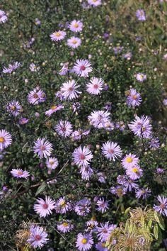 Vernoemd naar een heldere ster: Aster laevis 'Arcturus'. Deze herfstaster valt op omdat de bloeistengels erg donker zijn, tegen het zwarte aan, en de straalbloemen lavendelkleurig zijn. Hoogte: 120-140 cm.  Beschrijving: www.schetsservice.nl. Foto gemaakt op Kwekerij de Hessenhof.