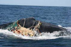 La mayoría de las muertes de ballenas en últimos 40 años causadas por humanos - Most Whale Deaths in Past 40 Years Were Caused by Humans