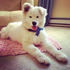 Winston the Samoyed - 4 months Puppy dog
