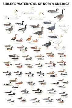 Sibley's Waterfowl of North America Poster | Bird Identification Charts