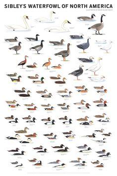 Duck Identification Chart | ... Waterfowl of North America Poster | Bird Identification Charts