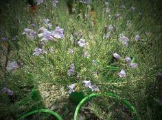 Eremophila microtheca full sun/part shade, range of soils, coastal, protect from frost planted near heath backyard. Small Shrubs, Native Plants, Frost, Coastal, Backyard, Shades, Range, Sun, Patio
