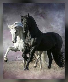 Dassais and Luna Beautiful Arabian Horses, Most Beautiful Horses, Majestic Horse, Animals Beautiful, Cute Animals, Cute Horses, Pretty Horses, Horse Love, Horse Photos