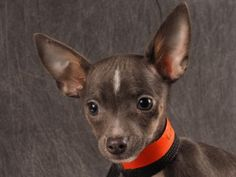 Adopt Hallie, a lovely 3 months 27 days Dog available for adoption at Petango.com.  Hallie is a Chihuahua, Short Coat and is available at the National Mill Dog Rescue in Colorado Springs, CO.  milldogrescue.org...#adoptyourfriendtoday#rescue