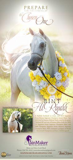 Bint Al Riyahh in foal to Ramses Mishaal Nadir | RainMaker Arabians