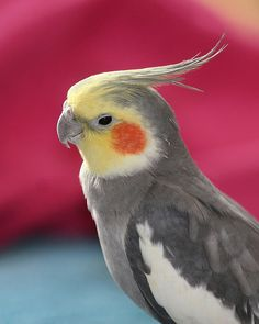 A Cockatiel Named Harley by The Nature Nook, via Flickr