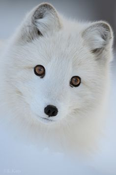 Arctic Fox by Edwin Kats~~