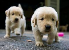 golden pups!